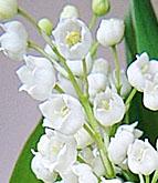 hoa lan chuông - hạnh phúc tìm lại