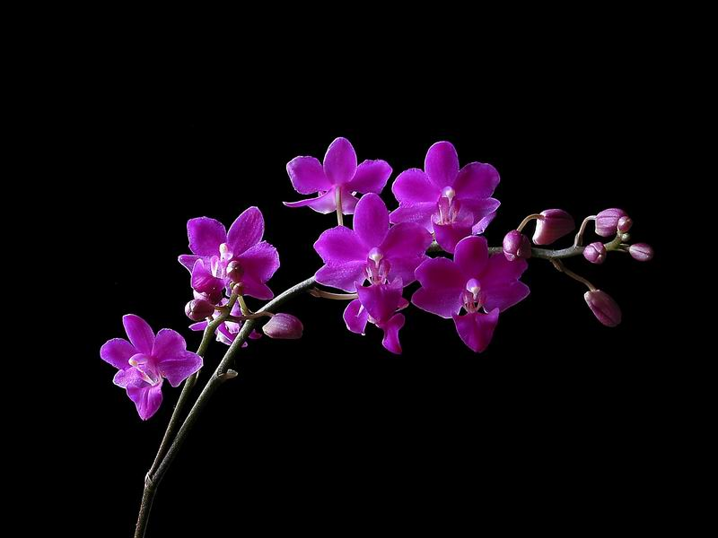 http://www.chanphuocliem.com/Trang_SuuTamLuomLat/SuuTam_hoa/hoa_PhongLan_orchid_MyNhan1.jpg