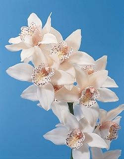 hoa phong lan - mỹ nhân