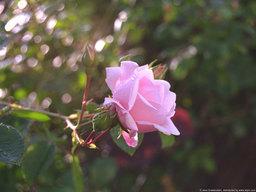 Hoa hồng - tình yêu