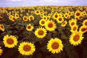 hoa hướng dương - kiêu kỳ